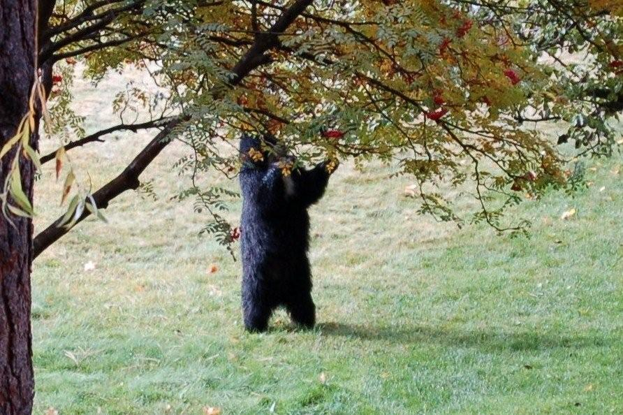 Bear Eating Apples