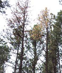 Ponderosa pines dying as a result of beetle infestation
